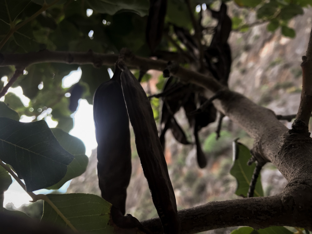 Vegan in Griechenland: Carobbaum